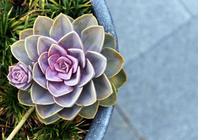 Succulent potted planting